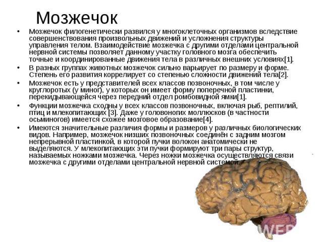 Мозжечок Мозжечок филогенетически развился у многоклеточных организмов вследствие совершенствования произвольных движений и усложнения структуры управления телом. Взаимодействие мозжечка с другими отделами центральной нервной системы позволяет данно…