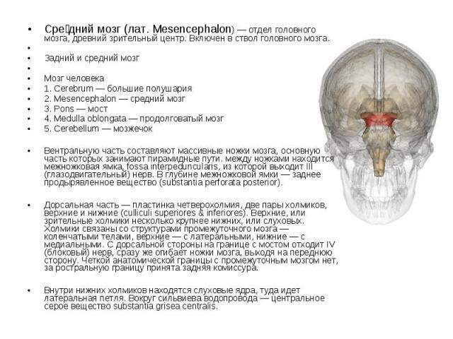Сре дний мозг (лат. Mesencephalon) — отдел головного мозга, древний зрительный центр. Включен в ствол головного мозга. Задний и средний мозг Мозг человека 1. Cerebrum — большие полушария 2. Mesencephalon — средний мозг 3. Pons — мост 4. Medulla oblo…