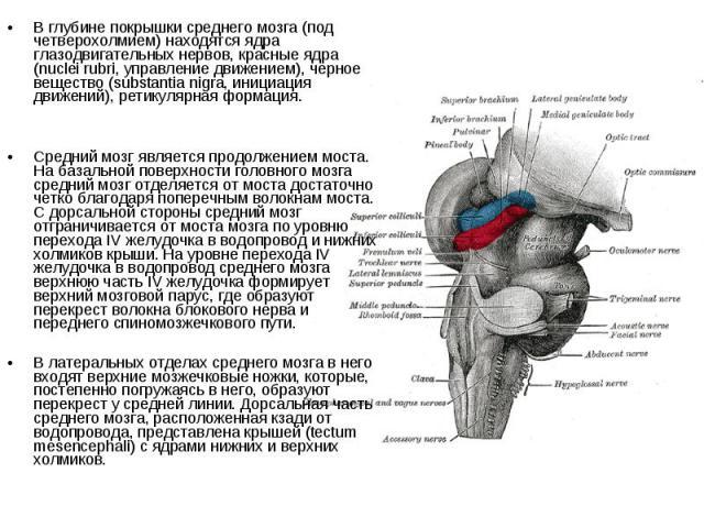 В глубине покрышки среднего мозга (под четверохолмием) находятся ядра глазодвигательных нервов, красные ядра (nuclei rubri, управление движением), черное вещество (substantia nigra, инициация движений), ретикулярная формация. Средний мозг является п…