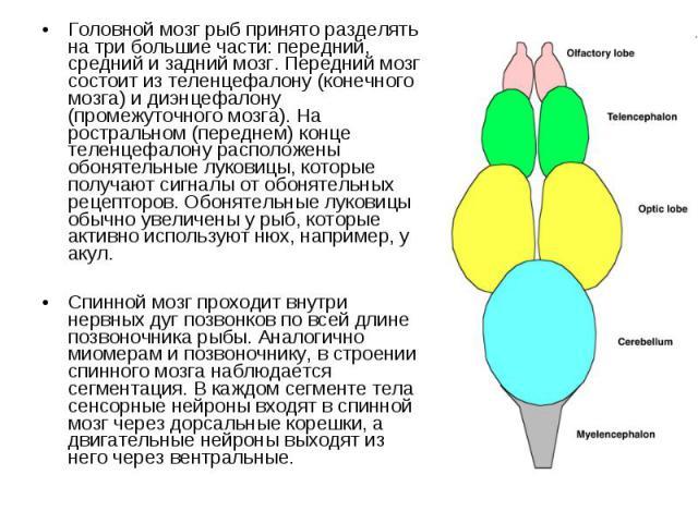 Головной мозг рыб принято разделять на три большие части: передний, средний и задний мозг. Передний мозг состоит из теленцефалону (конечного мозга) и диэнцефалону (промежуточного мозга). На ростральном (переднем) конце теленцефалону расположены обон…