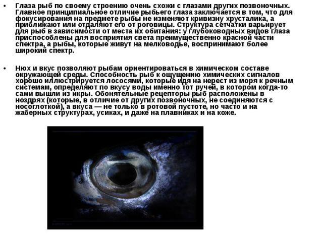 Глаза рыб по своему строению очень схожи с глазами других позвоночных. Главное принципиальное отличие рыбьего глаза заключается в том, что для фокусирования на предмете рыбы не изменяют кривизну хрусталика, а приближают или отдаляют его от роговицы.…
