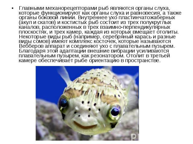 Главными механорецепторами рыб являются органы слуха, которые функционируют как органы слуха и равновесия, а также органы боковой линии. Внутреннее ухо пластинчатожаберных (акул и скатов) и костистых рыб состоит из трех полукруглых каналов, располож…
