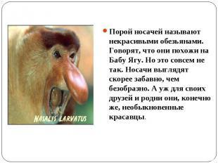 Порой носачей называют некрасивыми обезьянами. Говорят, что они похожи на Бабу Я