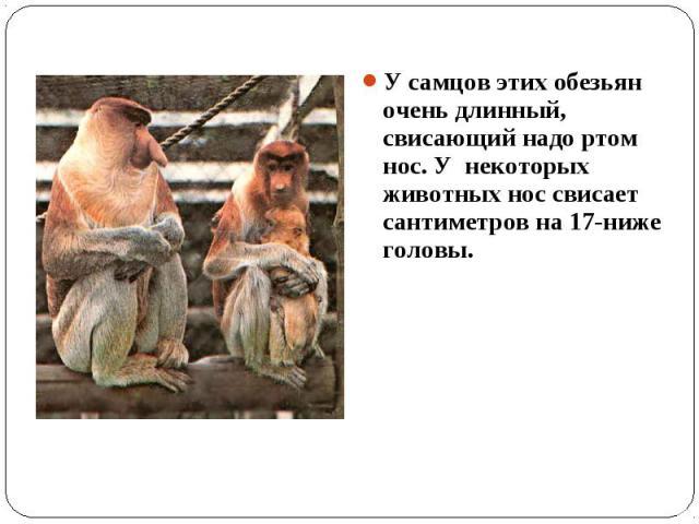 У самцов этих обезьян очень длинный, свисающий надо ртом нос. У некоторых животных нос свисает сантиметров на 17-ниже головы.