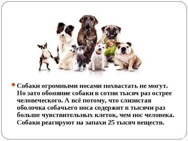 Собаки огромными носами похвастать не могут. Но зато обоняние собаки в сотни тысяч раз острее человеческого. А всё потому, что слизистая оболочка собачьего носа содержит в тысячи раз больше чувствительных клеток, чем нос человека. Собаки реагируют н…