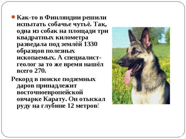 Как-то в Финляндии решили испытать собачье чутьё. Так, одна из собак на площади три квадратных километра разведала под землёй 1330 образцов полезных ископаемых. А специалист-геолог за то же время нашёл всего 270. Рекорд в поиске подземных даров прин…