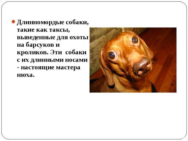 Длинномордые собаки, такие как таксы, выведенные для охоты на барсуков и кроликов. Эти собаки с их длинными носами - настоящие мастера нюха.