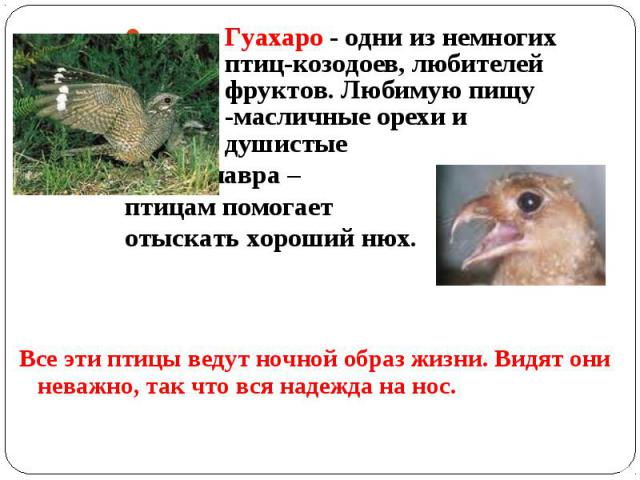 Гуахаро - одни из немногих птиц-козодоев, любителей фруктов. Любимую пищу -масличные орехи и душистые плоды лавра – птицам помогает отыскать хороший нюх. Все эти птицы ведут ночной образ жизни. Видят они неважно, так что вся надежда на нос.