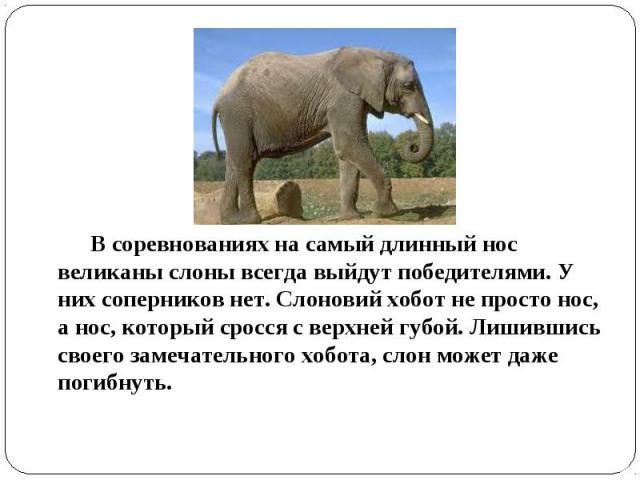 В соревнованиях на самый длинный нос великаны слоны всегда выйдут победителями. У них соперников нет. Слоновий хобот не просто нос, а нос, который сросся с верхней губой. Лишившись своего замечательного хобота, слон может даже погибнуть.