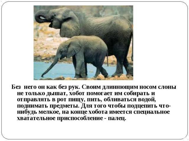 Без него он как без рук. Своим длиннющим носом слоны не только дышат, хобот помогает им собирать и отправлять в рот пищу, пить, обливаться водой, поднимать предметы. Для того чтобы подцепить что-нибудь мелкое, на конце хобота имеется специальное хва…