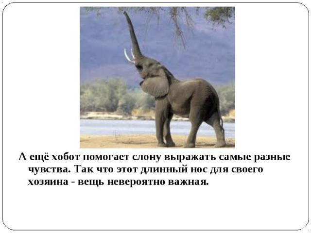 А ещё хобот помогает слону выражать самые разные чувства. Так что этот длинный нос для своего хозяина - вещь невероятно важная.