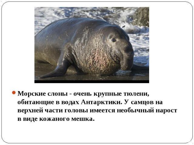 Морские слоны - очень крупные тюлени, обитающие в водах Антарктики. У самцов на верхней части головы имеется необычный нарост в виде кожаного мешка.