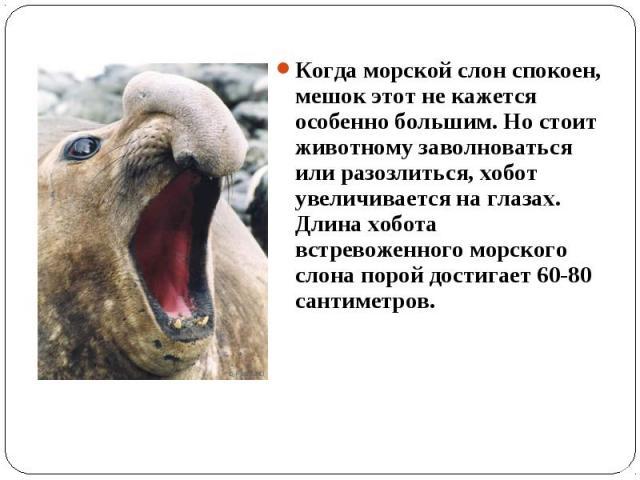 Когда морской слон спокоен, мешок этот не кажется особенно большим. Но стоит животному заволноваться или разозлиться, хобот увеличивается на глазах. Длина хобота встревоженного морского слона порой достигает 60-80 сантиметров.