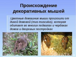 Происхождение декоративных мышей Цветные домашние мыши произошли от дикой домово