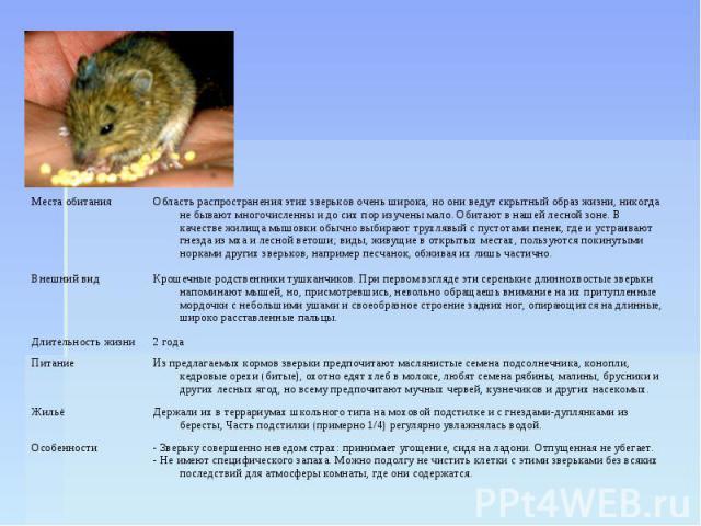 Мышь мышовка