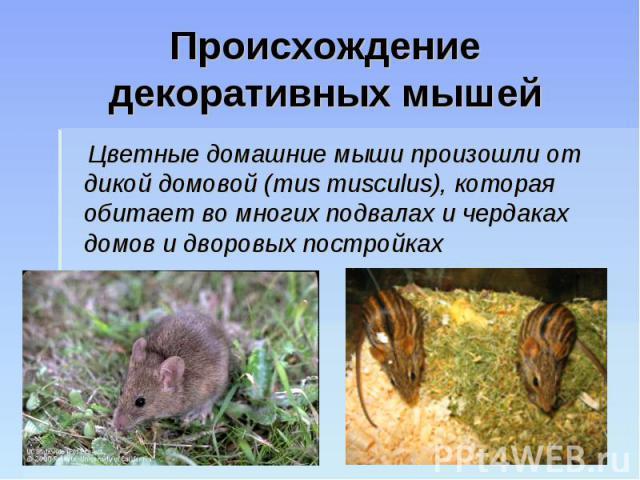 Происхождение декоративных мышей Цветные домашние мыши произошли от дикой домовой (mus musculus), которая обитает во многих подвалах и чердаках домов и дворовых постройках