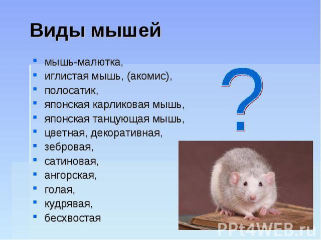 Виды мышей мышь-малютка, иглистая мышь, (акомис), полосатик, японская карликовая мышь, японская танцующая мышь, цветная, декоративная, зебровая, сатиновая, ангорская, голая, кудрявая, бесхвостая
