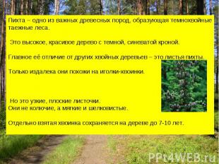 Пихта – одно из важных древесных пород, образующая темнохвойные таежные леса. Эт