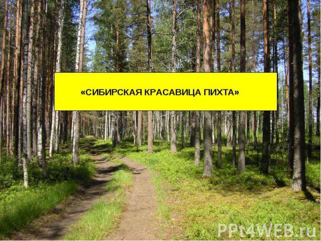Сибирская красавица Пихта