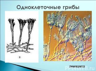 Одноклеточные грибы пеницилл