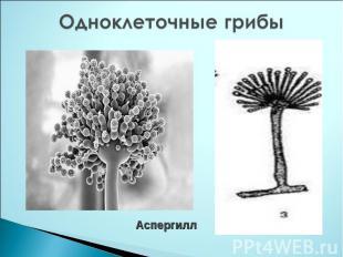 Одноклеточные грибы Аспергилл