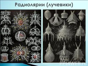 Радиолярии (лучевики)