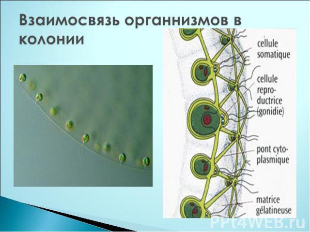 Взаимосвязь органнизмов в колонии