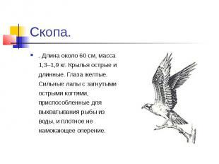 Скопа.. Длина около 60 см, масса 1,3–1,9 кг. Крылья острые и длинные. Глаза желт