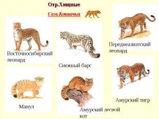 Отр.Хищные Сем.Кошачьи