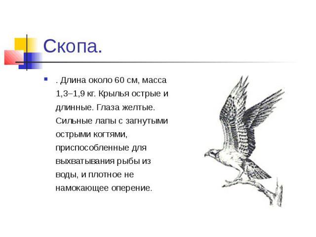 Скопа.. Длина около 60 см, масса 1,3–1,9 кг. Крылья острые и длинные. Глаза желтые. Сильные лапы с загнутыми острыми когтями, приспособленные для выхватывания рыбы из воды, и плотное не намокающее оперение.