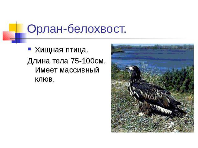 Орлан-белохвост.Хищная птица. Длина тела 75-100см. Имеет массивный клюв.