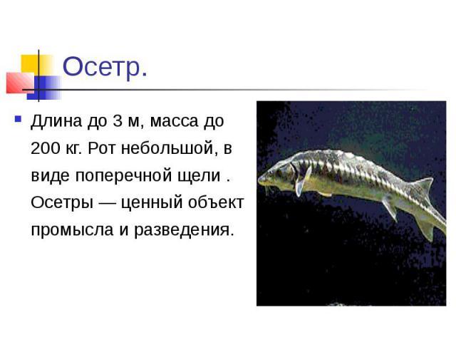 Осетр.Длина до 3 м, масса до 200 кг. Рот небольшой, в виде поперечной щели . Осетры — ценный объект промысла и разведения.