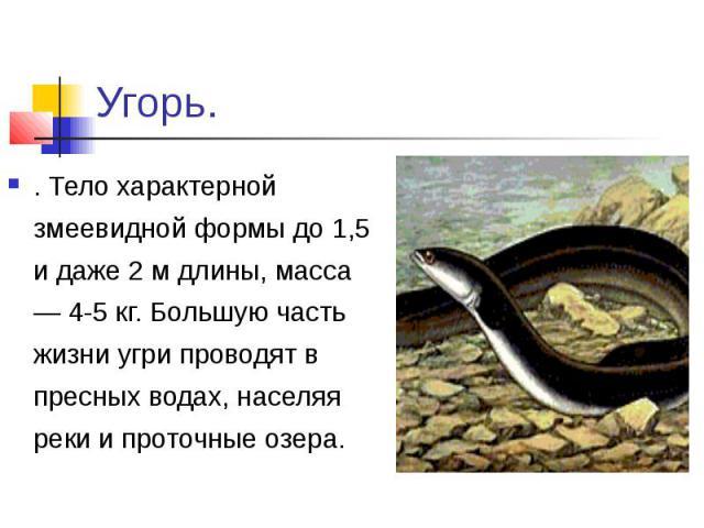 Угорь.. Тело характерной змеевидной формы до 1,5 и даже 2 м длины, масса — 4-5 кг. Большую часть жизни угри проводят в пресных водах, населяя реки и проточные озера.