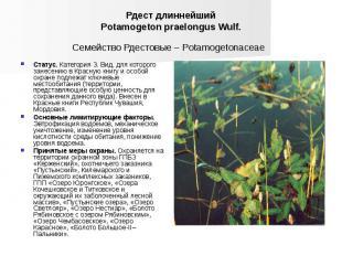 Рдест длиннейший Potamogeton praelongus Wulf. Семейство Рдестовые – Potamogetona