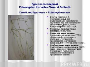 Рдест волосовидный Potamogeton trichoides Cham. et Schlecht. Семейство Рдестовые