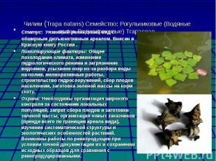 Чилим (Trapa natans) Семейство: Рогульниковые (Водяные орехи, Водноореховые) Тга
