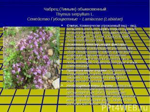 Чабрец (Тимьян) обыкновенный Thymus serpyllum L. Семейство Губоцветные – Lamiace
