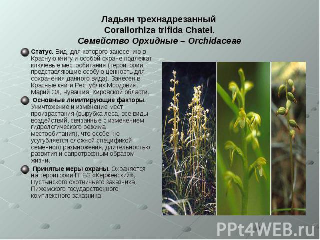 Ладьян трехнадрезанный Corallorhiza trifida Chatel. Семейство Орхидные – Orchidaceae Статус. Вид, для которого занесению в Красную книгу и особой охране подлежат ключевые местообитания (территории, представляющие особую ценность для сохранения данно…