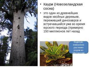 Каури (Новозеландская сосна) это один из древнейших видов хвойных деревьев, пере