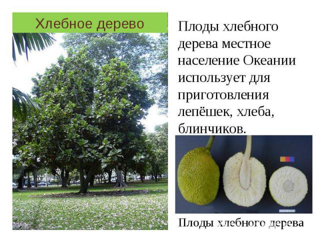 Хлебное дерево Плоды хлебного дерева местное население Океании использует для приготовления лепёшек, хлеба, блинчиков.