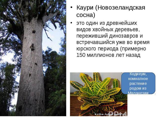 Каури (Новозеландская сосна) это один из древнейших видов хвойных деревьев, переживший динозавров и встречавшийся уже во время юрского периода (примерно 150 миллионов лет назад