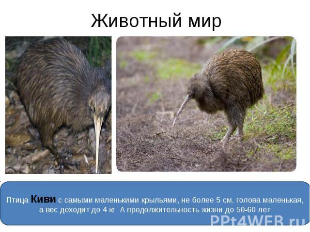 Животный мир Птица Киви с самыми маленькими крыльями, не более 5 см. голова маленькая, а вес доходит до 4 кг А продолжительность жизни до 50-60 лет