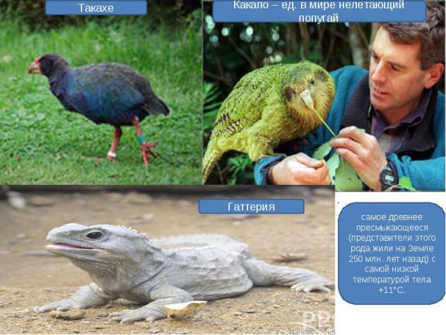 Какапо – ед. в мире нелетающий попугай самое древнее пресмыкающееся (представители этого рода жили на Земле 250 млн. лет назад) с самой низкой температурой тела +11°С.