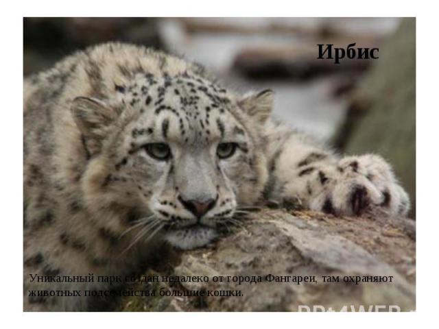 Ирбис Уникальный парк создан недалеко от города Фангареи, там охраняют животных подсемейства большие кошки.