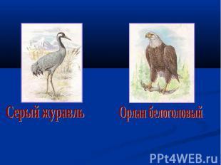 Серый журавль Орлан белоголовый