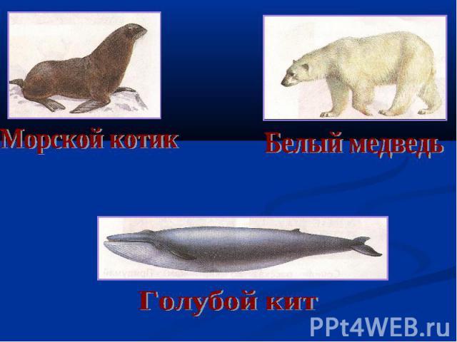 Морской котик Белый медведь Голубой кит