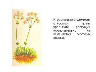 К растениям-эндемикам относится качим уральский, растущий исключительно на камен