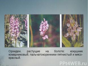 Орхидеи, растущие на болоте: кокушник комарниковый, пальчатокоренники пятнистый
