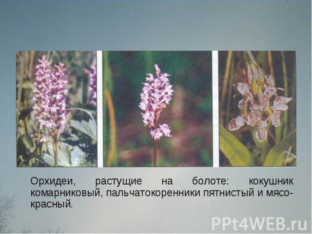 Орхидеи, растущие на болоте: кокушник комарниковый, пальчатокоренники пятнистый и мясо-красный.