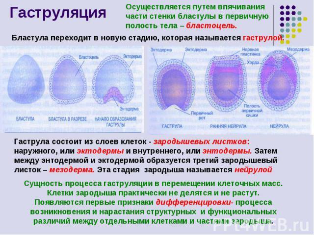 Гаструляция Осуществляется путем впячивания части стенки бластулы в первичную полость тела – бластоцель. Бластула переходит в новую стадию, которая называется гаструлой. Гаструла состоит из слоев клеток - зародышевых листков: наружного, или эктодерм…